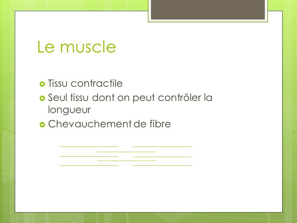 Le muscle Tissu contractile Seul tissu dont on peut contrôler la longueur Chevauchement de fibre