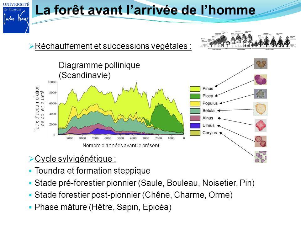 La forêt avant larrivée de lhomme Cycle sylvigénétique : Toundra et formation steppique Stade pré-forestier pionnier (Saule, Bouleau, Noisetier, Pin)