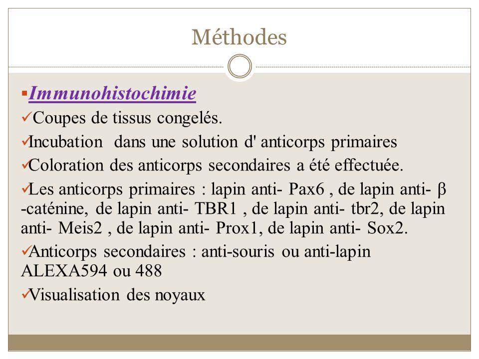 Méthodes Immunohistochimie Coupes de tissus congelés. Incubation dans une solution d' anticorps primaires Coloration des anticorps secondaires a été e