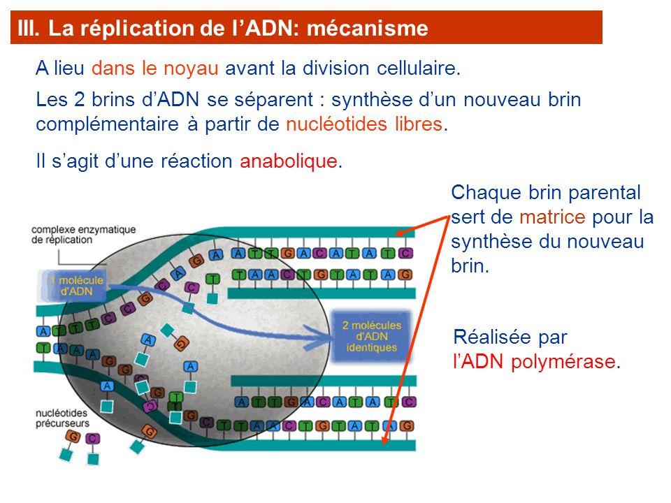 A lieu dans le noyau avant la division cellulaire. III. La réplication de lADN: mécanisme Les 2 brins dADN se séparent : synthèse dun nouveau brin com
