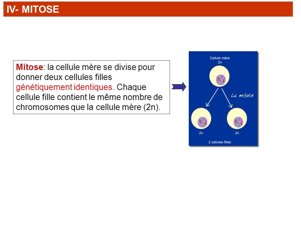 Mitose: la cellule mère se divise pour donner deux cellules filles génétiquement identiques. Chaque cellule fille contient le même nombre de chromosom