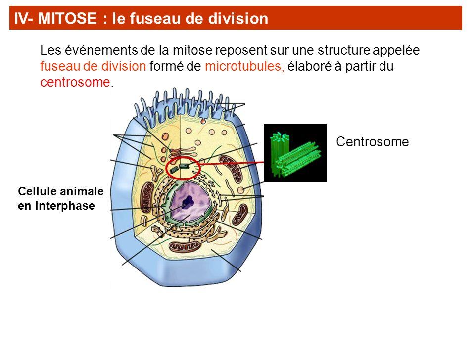Les événements de la mitose reposent sur une structure appelée fuseau de division formé de microtubules, élaboré à partir du centrosome. IV- MITOSE :