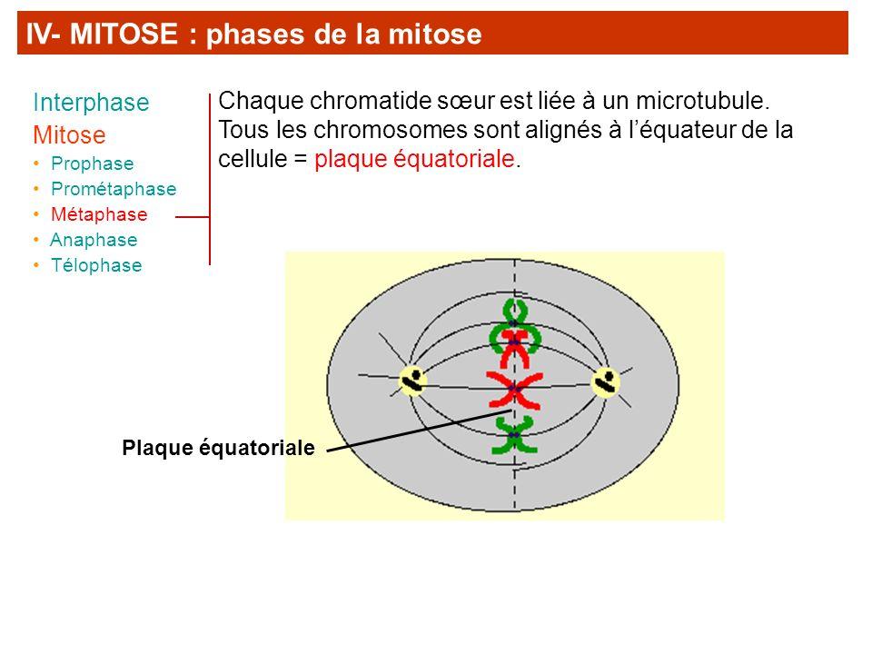 Chaque chromatide sœur est liée à un microtubule. Tous les chromosomes sont alignés à léquateur de la cellule = plaque équatoriale. Plaque équatoriale