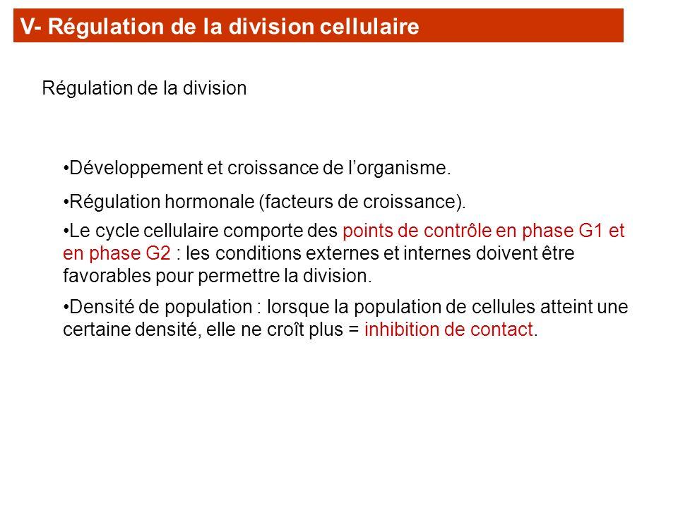 V- Régulation de la division cellulaire Régulation de la division Densité de population : lorsque la population de cellules atteint une certaine densi