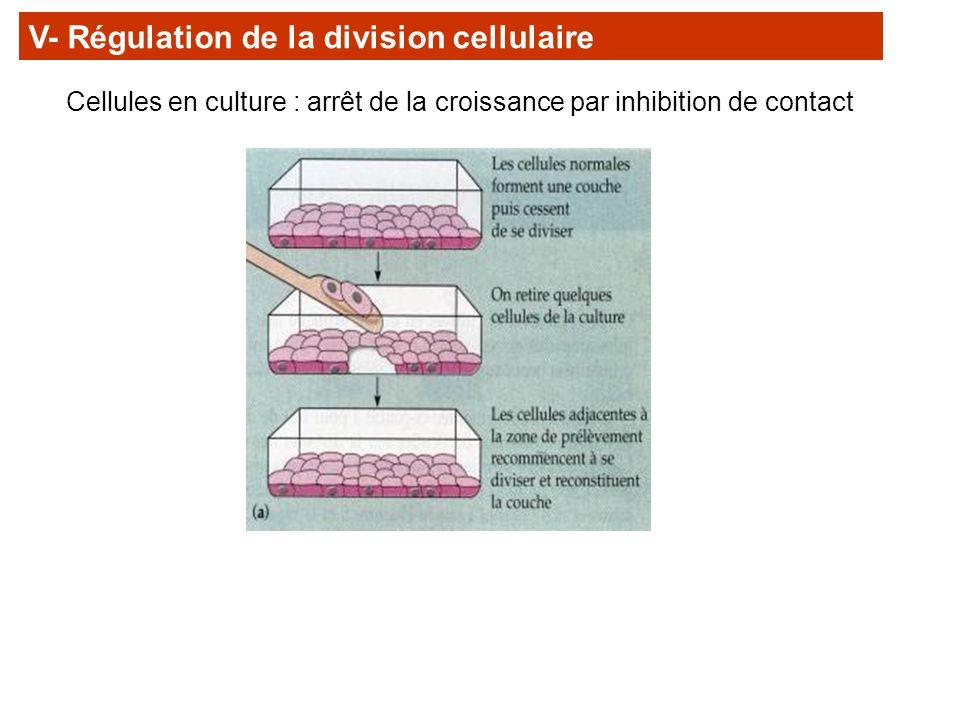 V- Régulation de la division cellulaire Cellules en culture : arrêt de la croissance par inhibition de contact