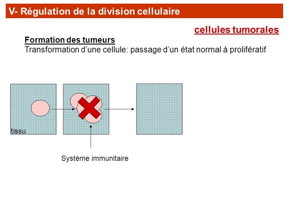 Formation des tumeurs Transformation dune cellule: passage dun état normal à prolifératif Système immunitaire tissu V- Régulation de la division cellu