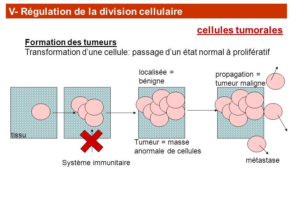 Formation des tumeurs Transformation dune cellule: passage dun état normal à prolifératif Système immunitaire Tumeur = masse anormale de cellules loca