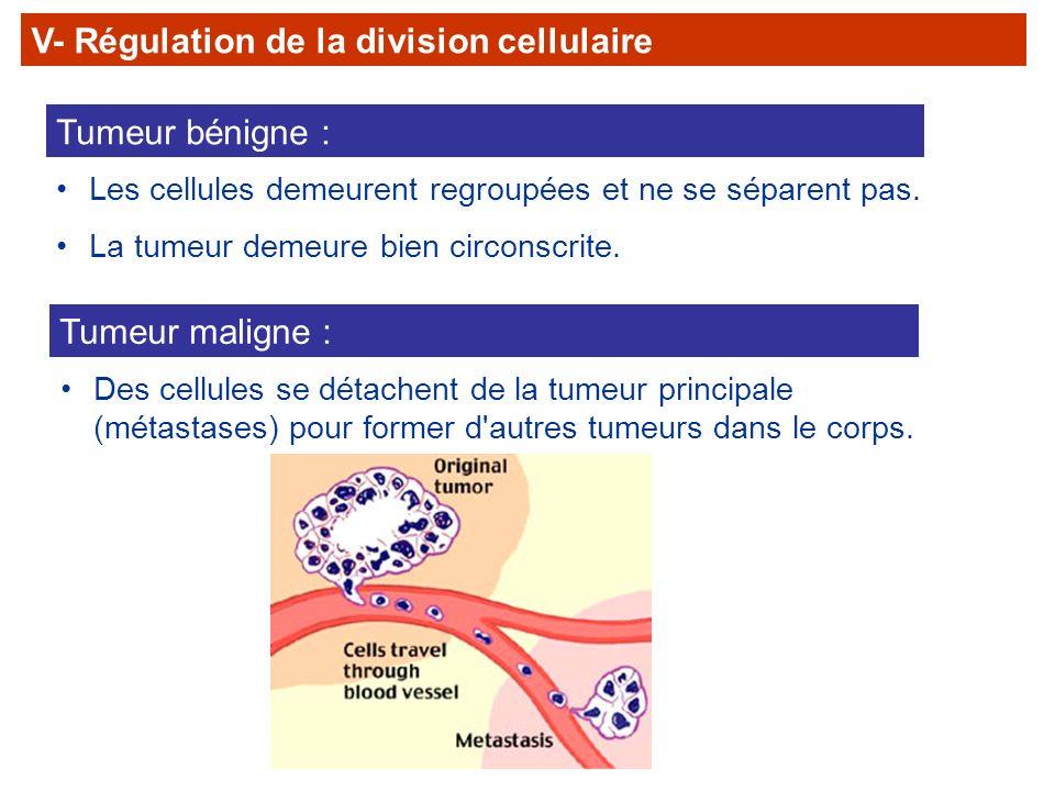 Tumeur bénigne : Les cellules demeurent regroupées et ne se séparent pas. La tumeur demeure bien circonscrite. Tumeur maligne : Des cellules se détach