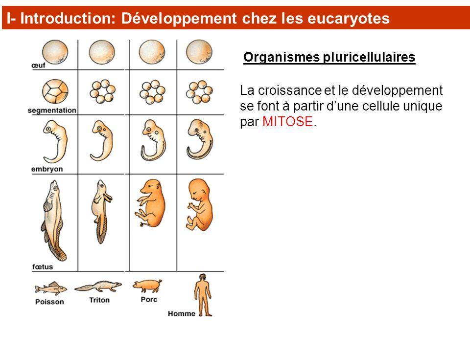 Organismes pluricellulaires La croissance et le développement se font à partir dune cellule unique par MITOSE. I- Introduction: Développement chez les