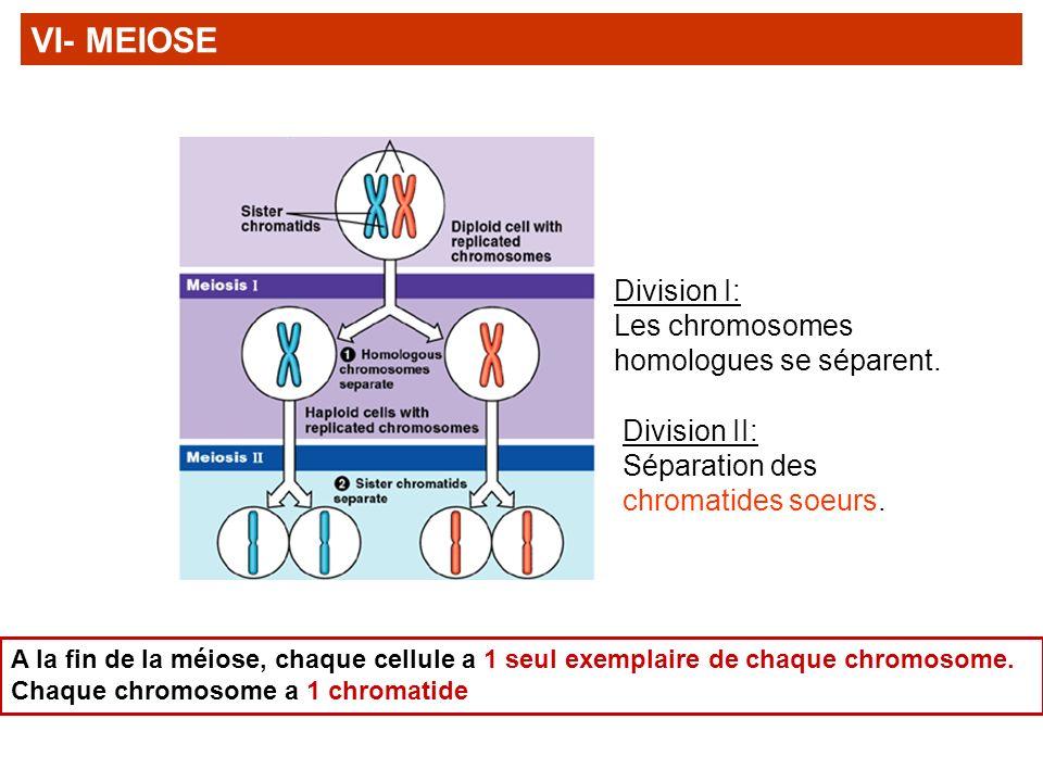 Division I: Les chromosomes homologues se séparent. Division II: Séparation des chromatides soeurs. A la fin de la méiose, chaque cellule a 1 seul exe