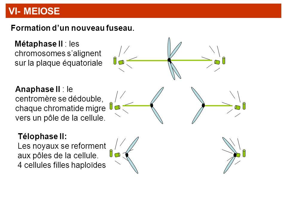 Métaphase II : les chromosomes salignent sur la plaque équatoriale Anaphase II : le centromère se dédouble, chaque chromatide migre vers un pôle de la