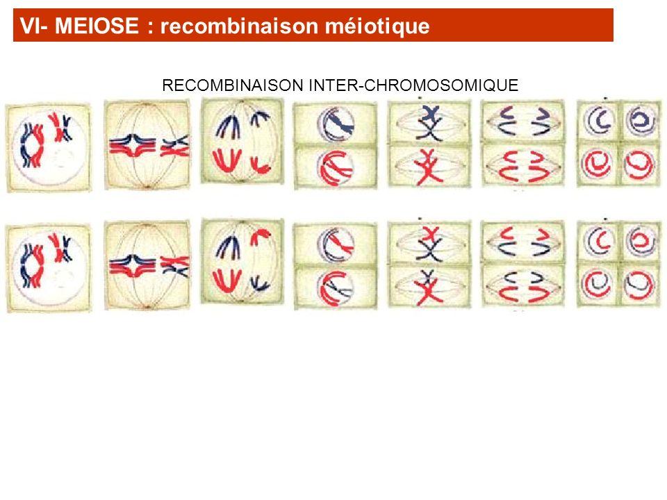 VI- MEIOSE : recombinaison méiotique RECOMBINAISON INTER-CHROMOSOMIQUE