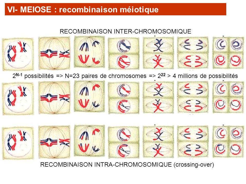 VI- MEIOSE : recombinaison méiotique 2 N-1 possibilités => N=23 paires de chromosomes => 2 22 > 4 millions de possibilités RECOMBINAISON INTRA-CHROMOS