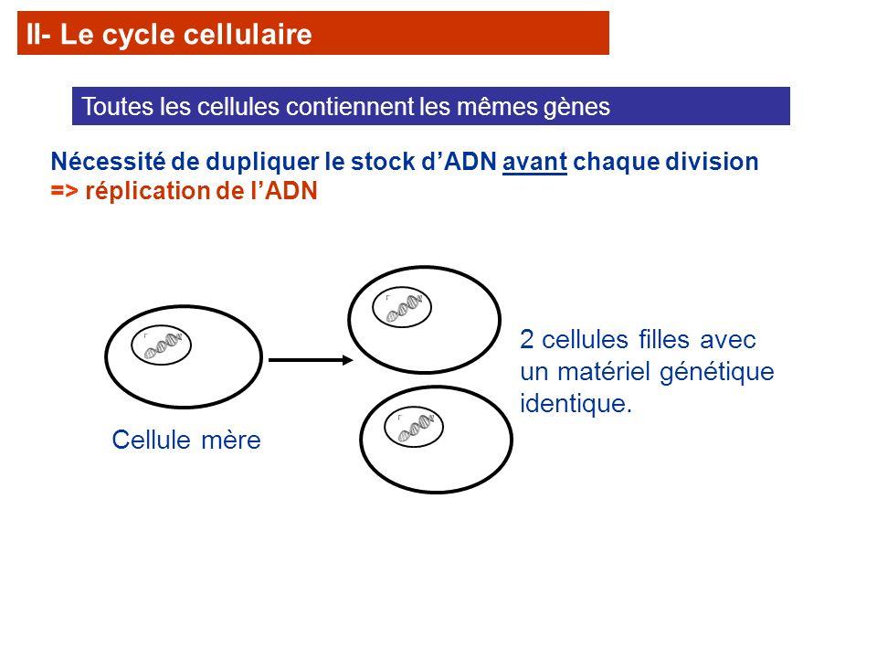 La mitose ne constitue quune étape du cycle de la division cellulaire appelé aussi cycle cellulaire.