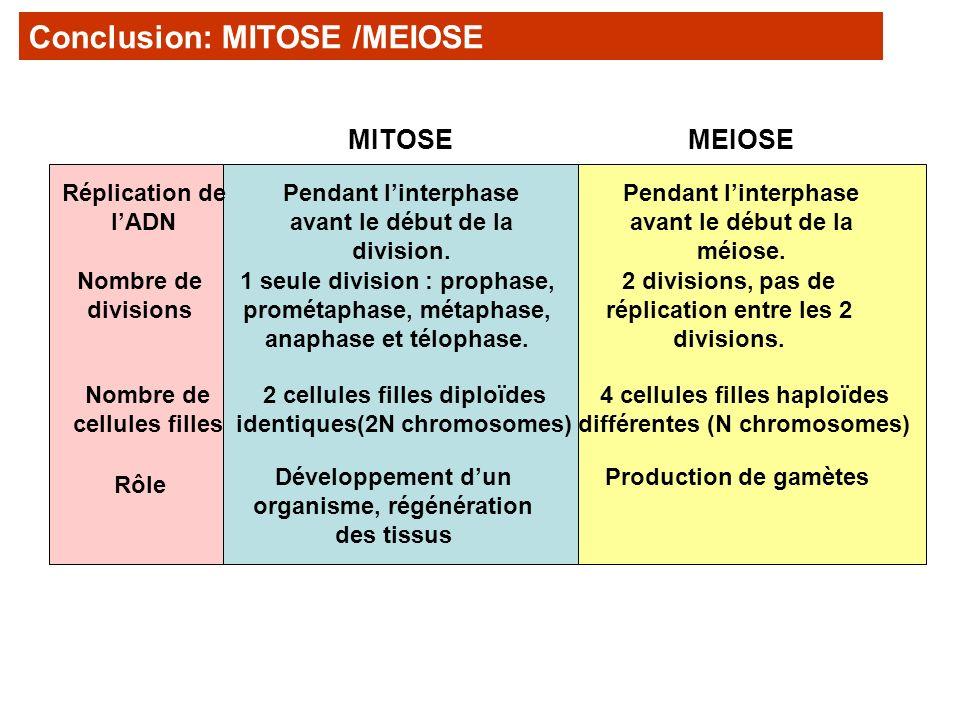 Conclusion: MITOSE /MEIOSE MITOSEMEIOSE Pendant linterphase avant le début de la division. Pendant linterphase avant le début de la méiose. Réplicatio