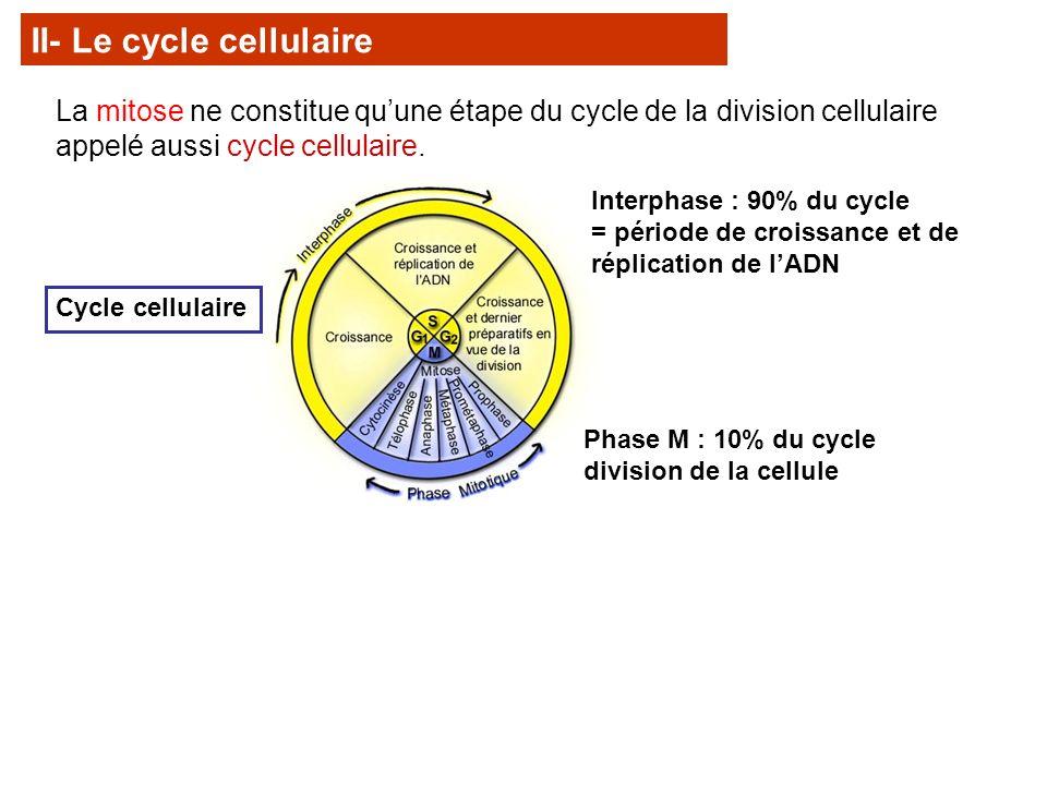 La mitose ne constitue quune étape du cycle de la division cellulaire appelé aussi cycle cellulaire. Cycle cellulaire Interphase : 90% du cycle = péri