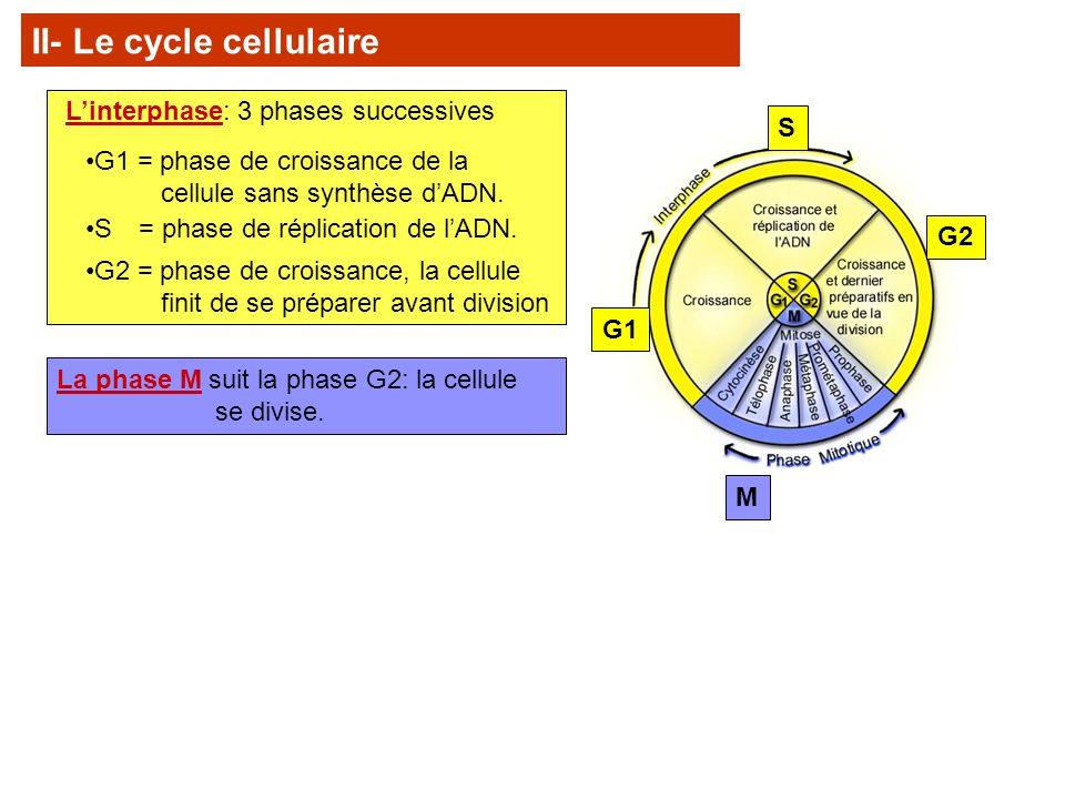 G1 G2 S M II- Le cycle cellulaire