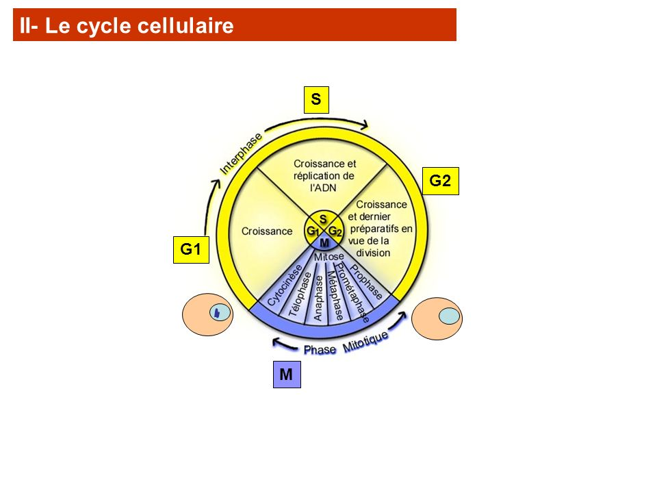 Fin de phase S: chromosomes à deux chromatides liées par le centromère.
