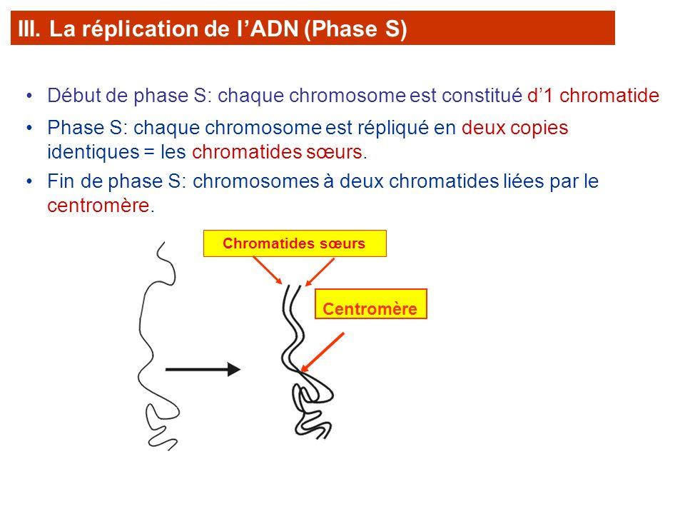 Fin de phase S: chromosomes à deux chromatides liées par le centromère. Centromère Début de phase S: chaque chromosome est constitué d1 chromatide Pha