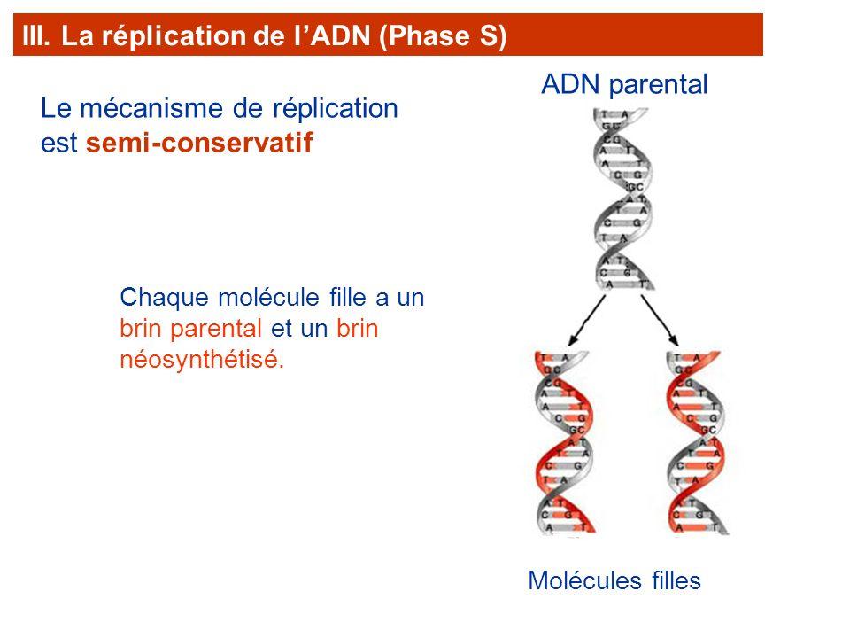 Le mécanisme de réplication est semi-conservatif Molécules filles Chaque molécule fille a un brin parental et un brin néosynthétisé. III. La réplicati