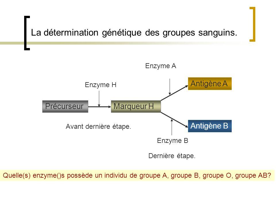 La détermination génétique des groupes sanguins. PrécurseurMarqueur H Antigène B Antigène A Enzyme H Enzyme A Enzyme B Quelle(s) enzyme()s possède un