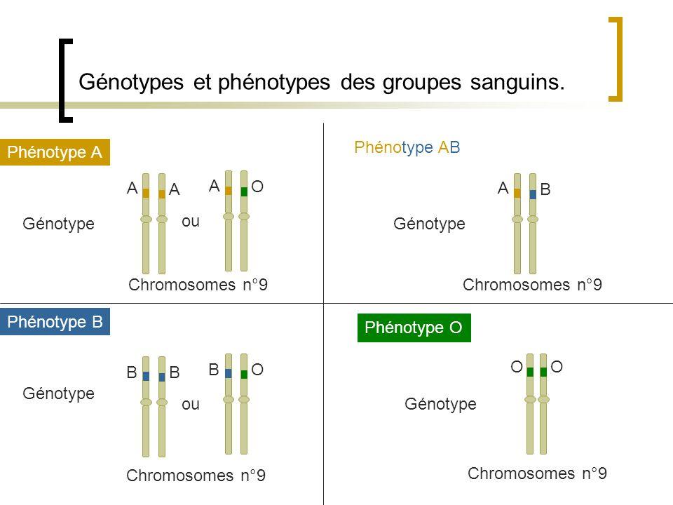 Génotypes et phénotypes des groupes sanguins. Phénotype A Génotype A A ou A O Phénotype B Génotype B B ou O B Phénotype AB Génotype A B Phénotype O Gé