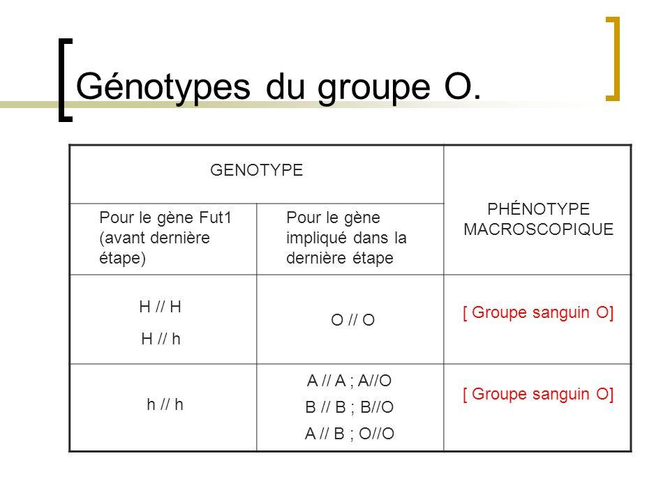 Génotypes du groupe O. GENOTYPE PHÉNOTYPE MACROSCOPIQUE Pour le gène Fut1 (avant dernière étape) Pour le gène impliqué dans la dernière étape H // H H