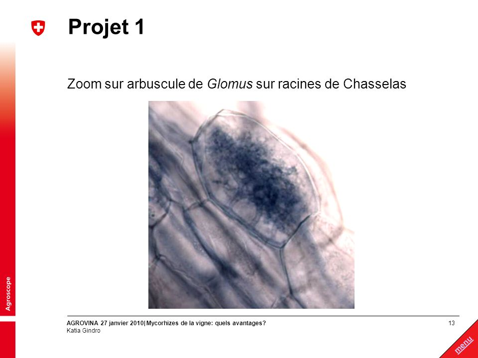 13 menu AGROVINA 27 janvier 2010| Mycorhizes de la vigne: quels avantages? Katia Gindro Projet 1 Zoom sur arbuscule de Glomus sur racines de Chasselas