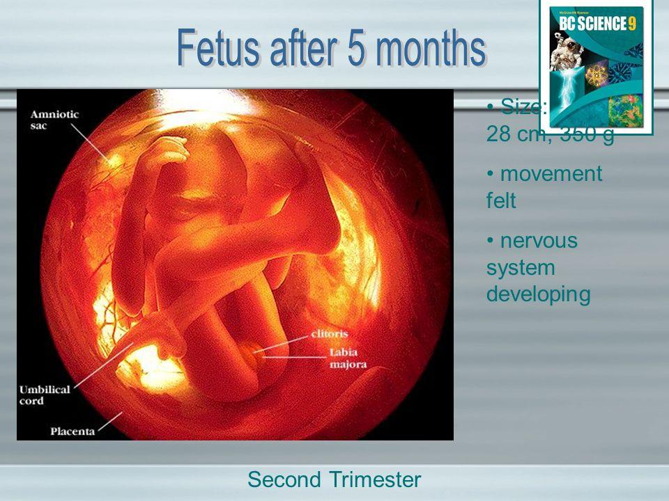 Size: 28 cm, 350 g movement felt nervous system developing Second Trimester