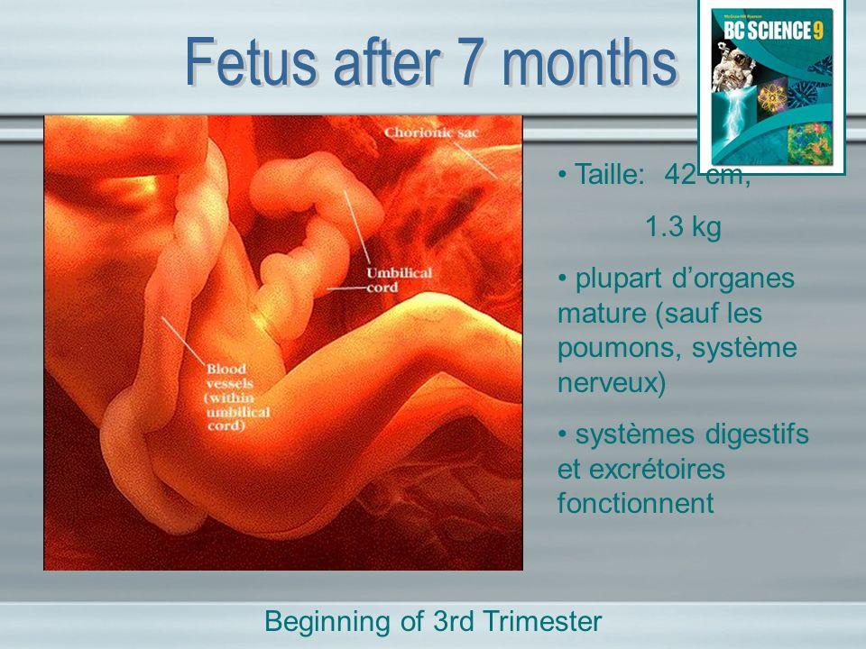 Taille: 42 cm, 1.3 kg plupart dorganes mature (sauf les poumons, système nerveux) systèmes digestifs et excrétoires fonctionnent Beginning of 3rd Trim