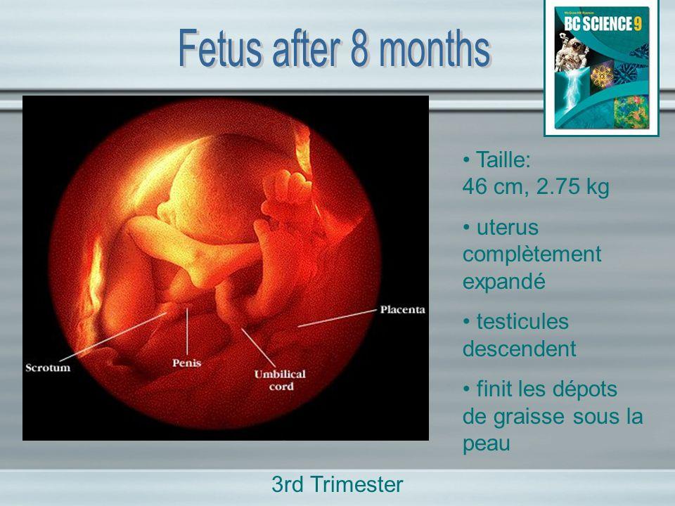 Taille: 46 cm, 2.75 kg uterus complètement expandé testicules descendent finit les dépots de graisse sous la peau 3rd Trimester
