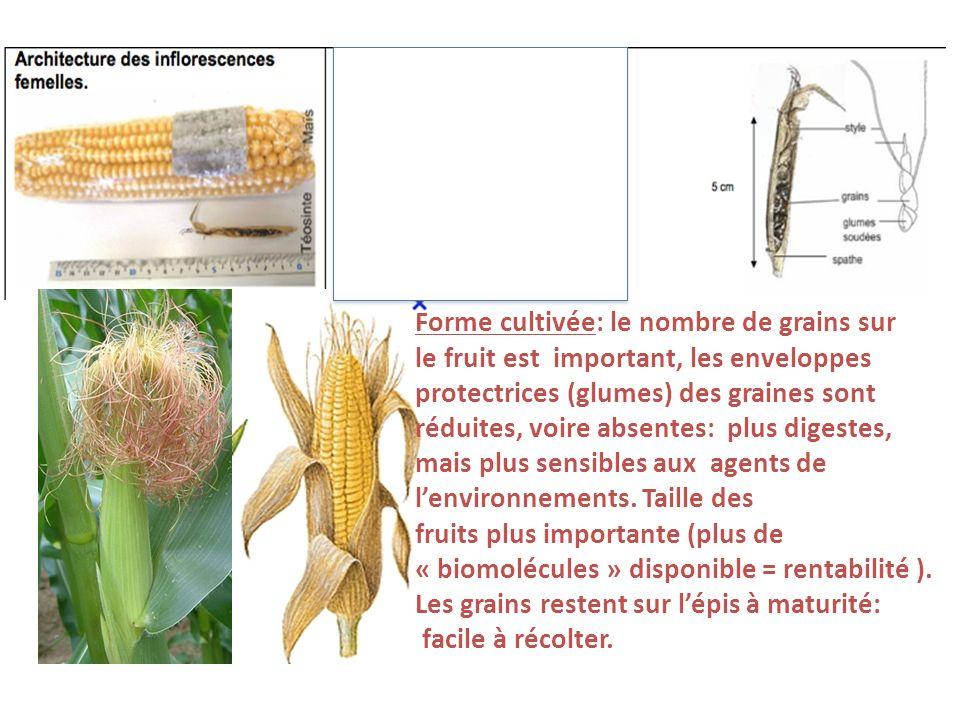 Forme cultivée: le nombre de grains sur le fruit est important, les enveloppes protectrices (glumes) des graines sont réduites, voire absentes: plus d