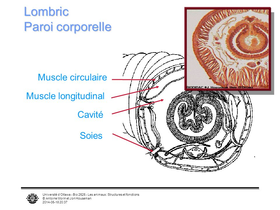 Université dOttawa - Bio 2525 - Les animaux: Structures et fonctions © Antoine Morin et Jon Houseman 2014-05-18 20:39 Lombric Paroi corporelle Muscle circulaire Muscle longitudinal Cavité Soies