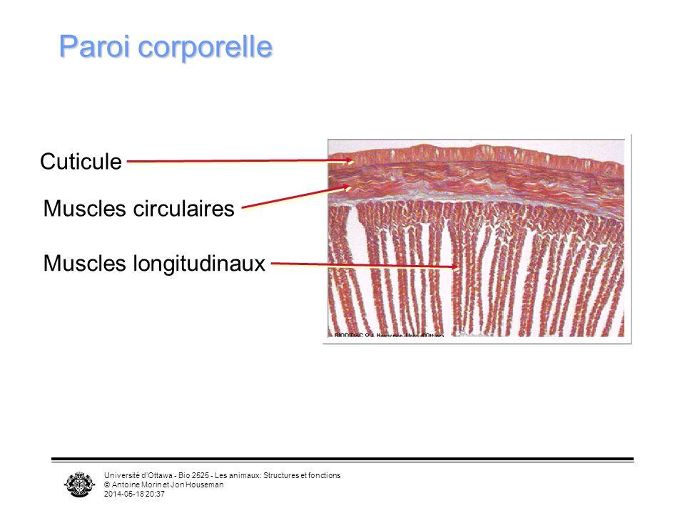 Université dOttawa - Bio 2525 - Les animaux: Structures et fonctions © Antoine Morin et Jon Houseman 2014-05-18 20:39 Paroi corporelle Cuticule Muscles circulaires Muscles longitudinaux