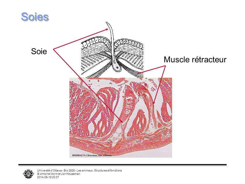 Université dOttawa - Bio 2525 - Les animaux: Structures et fonctions © Antoine Morin et Jon Houseman 2014-05-18 20:39 SoiesSoies Soie Muscle rétracteur