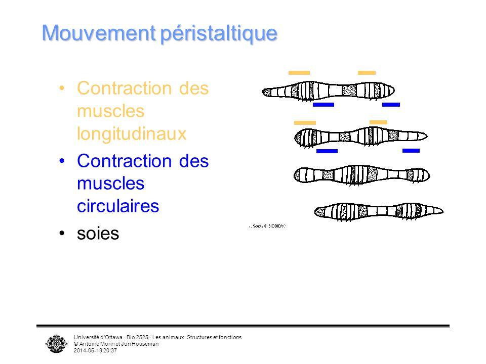 Université dOttawa - Bio 2525 - Les animaux: Structures et fonctions © Antoine Morin et Jon Houseman 2014-05-18 20:39 Mouvement péristaltique Contraction des muscles longitudinaux Contraction des muscles circulaires soies