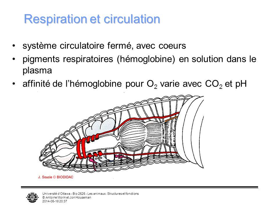 Université dOttawa - Bio 2525 - Les animaux: Structures et fonctions © Antoine Morin et Jon Houseman 2014-05-18 20:39 Respiration et circulation système circulatoire fermé, avec coeurs pigments respiratoires (hémoglobine) en solution dans le plasma affinité de lhémoglobine pour O 2 varie avec CO 2 et pH