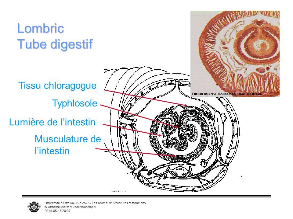 Université dOttawa - Bio 2525 - Les animaux: Structures et fonctions © Antoine Morin et Jon Houseman 2014-05-18 20:39 Lombric Tube digestif Typhlosole Tissu chloragogue Lumière de lintestin Musculature de lintestin