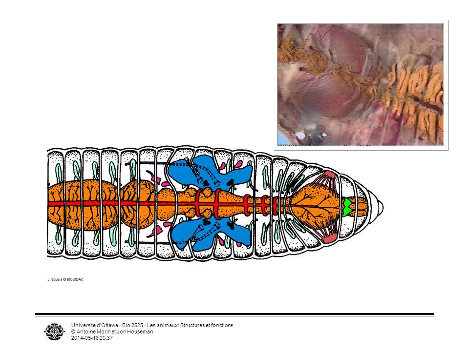 Université dOttawa - Bio 2525 - Les animaux: Structures et fonctions © Antoine Morin et Jon Houseman 2014-05-18 20:39