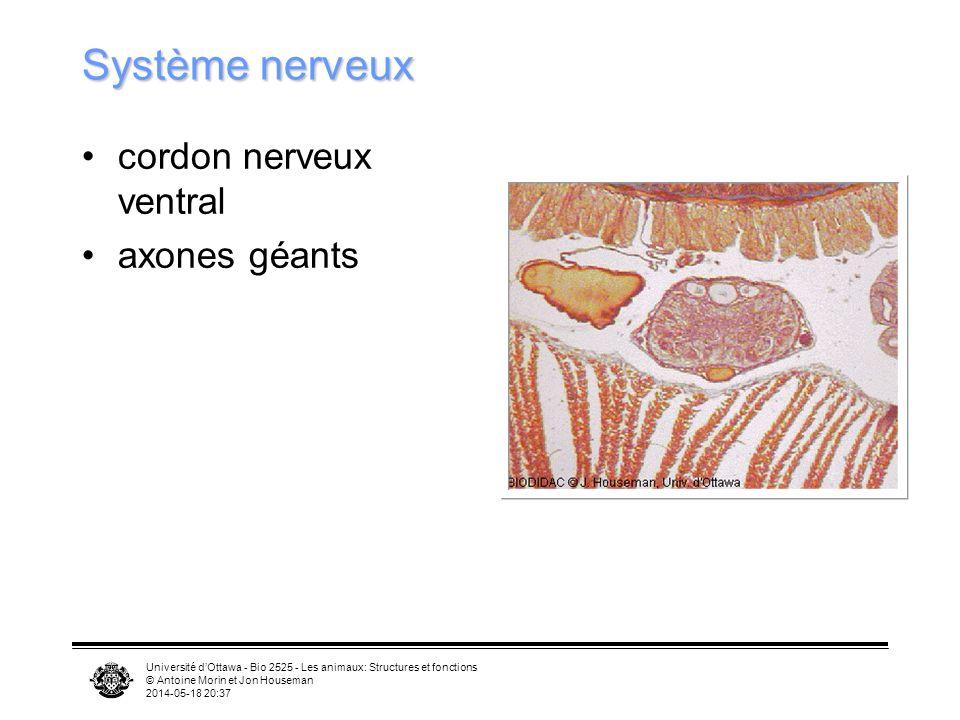 Université dOttawa - Bio 2525 - Les animaux: Structures et fonctions © Antoine Morin et Jon Houseman 2014-05-18 20:39 Système nerveux cordon nerveux ventral axones géants