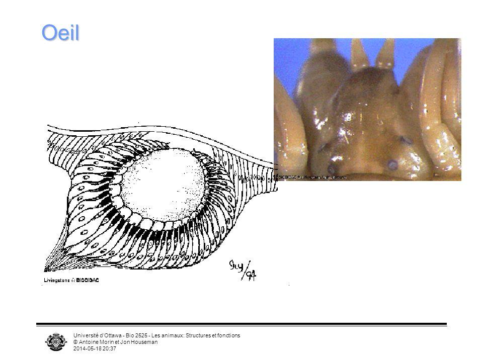 Université dOttawa - Bio 2525 - Les animaux: Structures et fonctions © Antoine Morin et Jon Houseman 2014-05-18 20:39 Oeil
