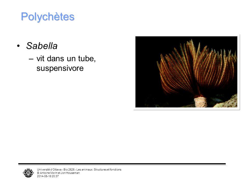 Université dOttawa - Bio 2525 - Les animaux: Structures et fonctions © Antoine Morin et Jon Houseman 2014-05-18 20:39 Polychètes Sabella –vit dans un tube, suspensivore