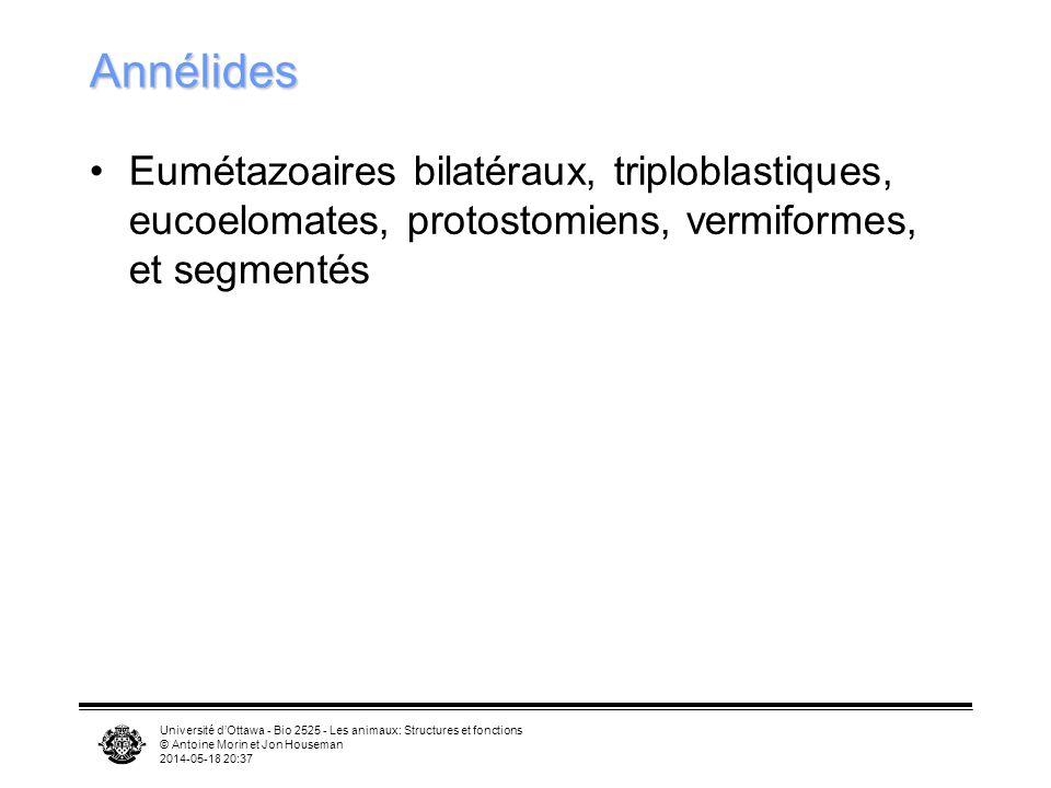 Université dOttawa - Bio 2525 - Les animaux: Structures et fonctions © Antoine Morin et Jon Houseman 2014-05-18 20:39 Annélides Eumétazoaires bilatéraux, triploblastiques, eucoelomates, protostomiens, vermiformes, et segmentés