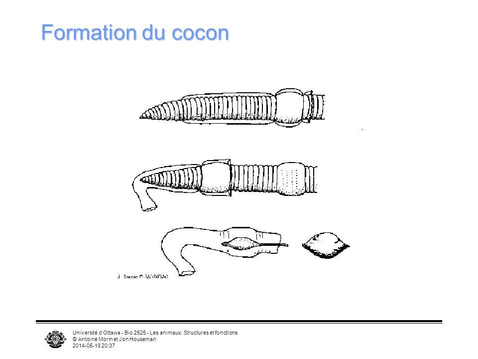 Université dOttawa - Bio 2525 - Les animaux: Structures et fonctions © Antoine Morin et Jon Houseman 2014-05-18 20:39 Formation du cocon