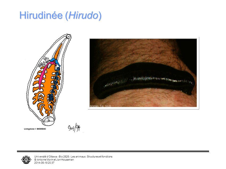 Université dOttawa - Bio 2525 - Les animaux: Structures et fonctions © Antoine Morin et Jon Houseman 2014-05-18 20:39 Hirudinée (Hirudo)