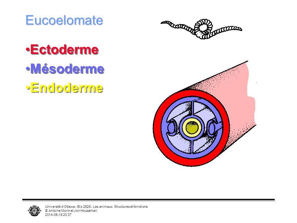 Université dOttawa - Bio 2525 - Les animaux: Structures et fonctions © Antoine Morin et Jon Houseman 2014-05-18 20:39 Eucoelomate Ectoderme Mésoderme Endoderme Ectoderme Mésoderme Endoderme