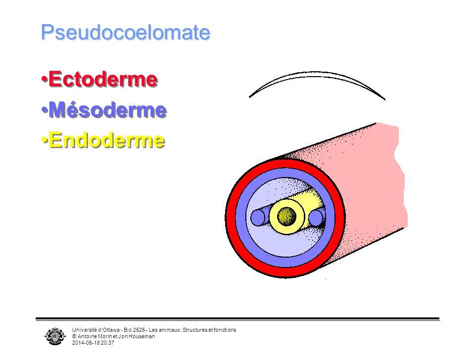 Université dOttawa - Bio 2525 - Les animaux: Structures et fonctions © Antoine Morin et Jon Houseman 2014-05-18 20:39 Pseudocoelomate Ectoderme Mésoderme Endoderme Ectoderme Mésoderme Endoderme