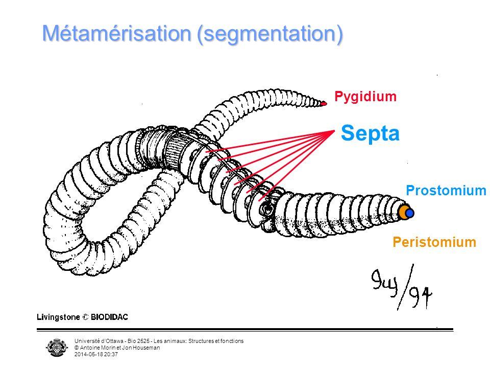 Université dOttawa - Bio 2525 - Les animaux: Structures et fonctions © Antoine Morin et Jon Houseman 2014-05-18 20:39 Septa Métamérisation (segmentation) Prostomium Pygidium Peristomium