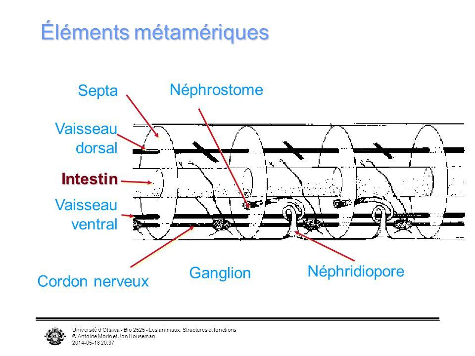 Université dOttawa - Bio 2525 - Les animaux: Structures et fonctions © Antoine Morin et Jon Houseman 2014-05-18 20:39 Éléments métamériques Septa Cordon nerveux Néphrostome Néphridiopore Vaisseau dorsal Intestin Vaisseau ventral Ganglion