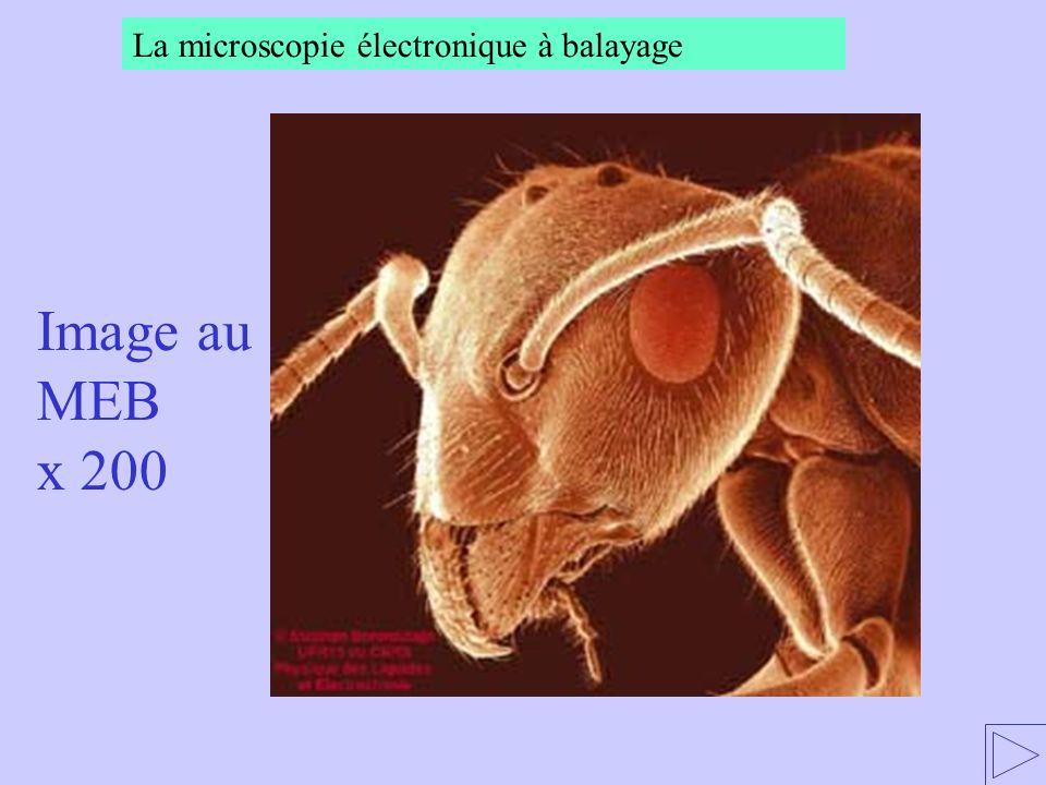 Image au MEB x 200